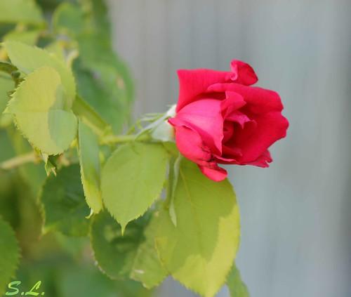 No hay rosa sin espinas