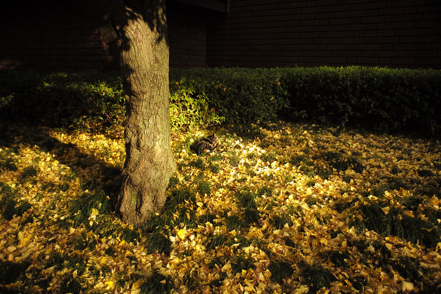 Cat sleeping on a carpet of ginkgo