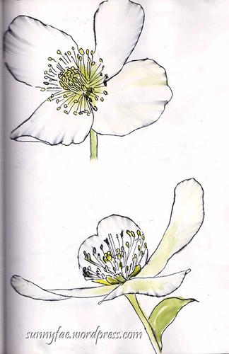Christmas rose sketch 5