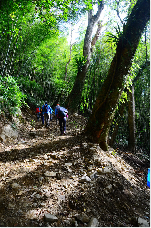 卓武山原始山林小徑 1