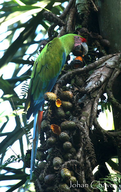 Great green macaws are the rarest species of the 2 that occur in CR.