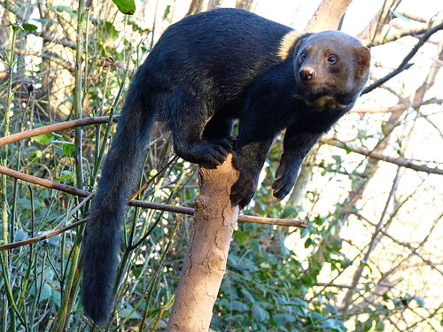 South Lakes Zoo - tayra