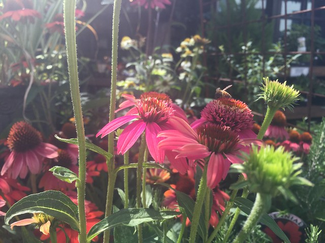Red Coneflowers with Bee.
