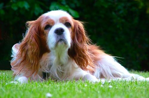 Cavalier King Charles Spaniel | Flickr - Photo Sharing!