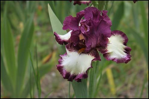 Iris I've Got Rythm (2)