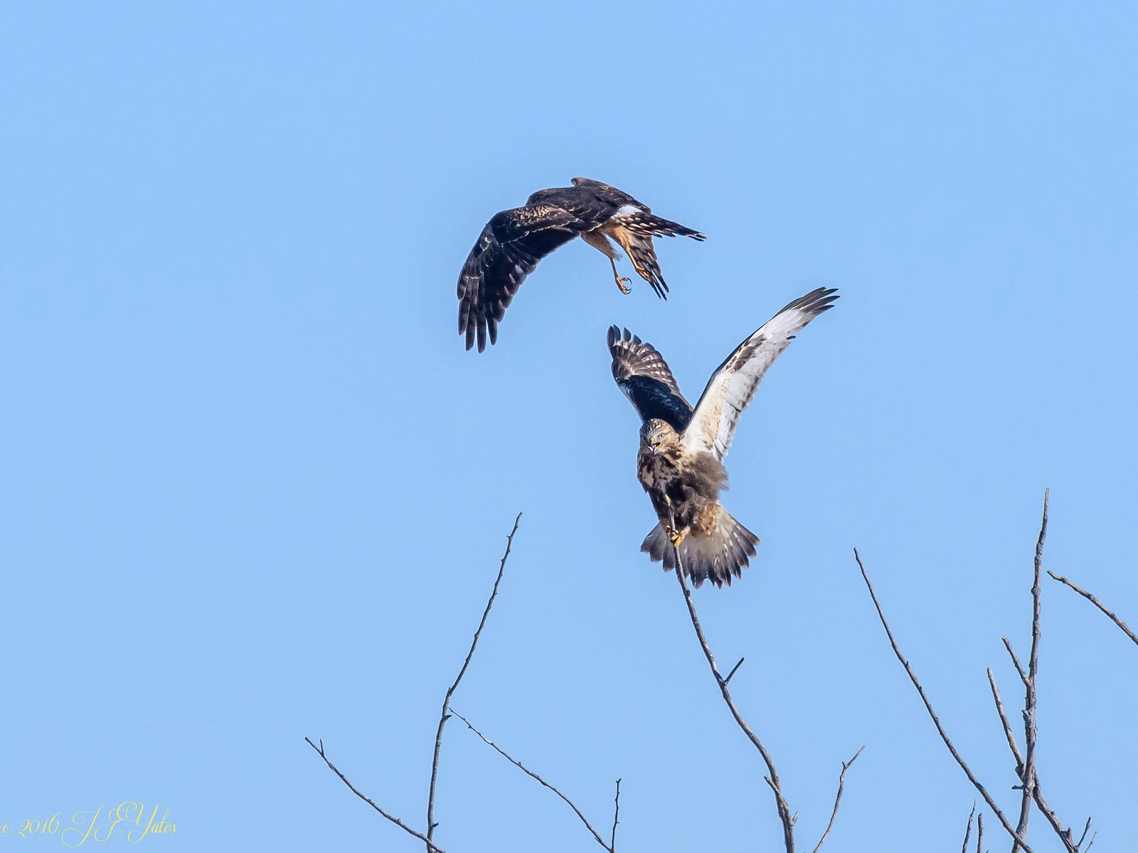 Rough legged hawk vs Northern Harrier