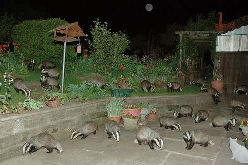 Badger Badger .. Badger Moon Cat Shed | by Bob Henry Photograpy