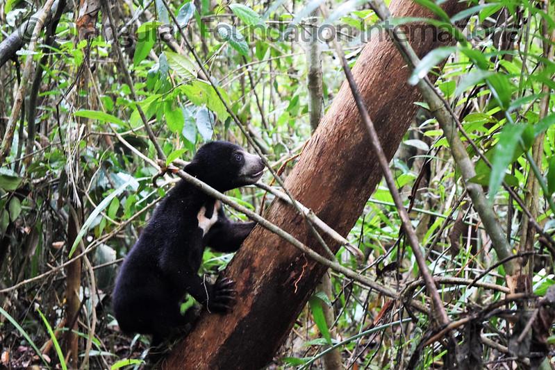 17.09.16._Sun Bear Cub Release_CGD_10_Lensa Cicilia_wm