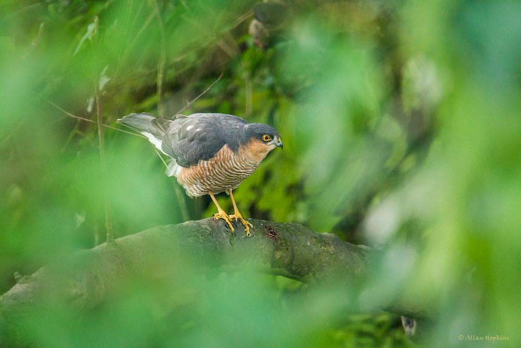 (Eurasian) Sparrowhawk (Accipiter nisus), male