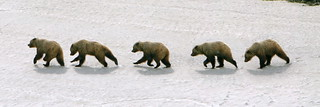 Grizzly Bear Action Panorama | by MarkWells