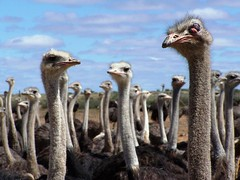 Ostriches in Namibia | by geoftheref