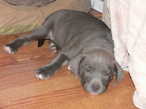 Annie | Annie is a 5-6 wk old Lab/Weimaraner/Pit Bull mix ...