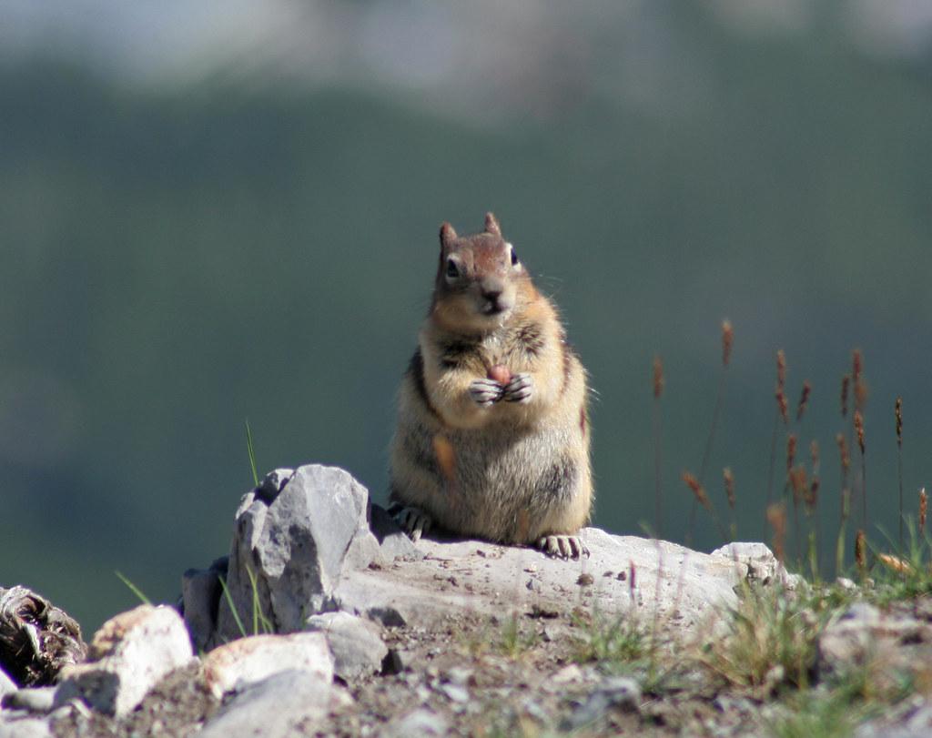 Golden-mantled ground squirrel Sulphur Mountain Banff