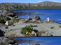végétation côtière (archipel des Kerguelen)