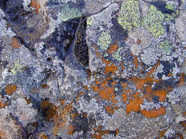lichens - Iles Kerguelen