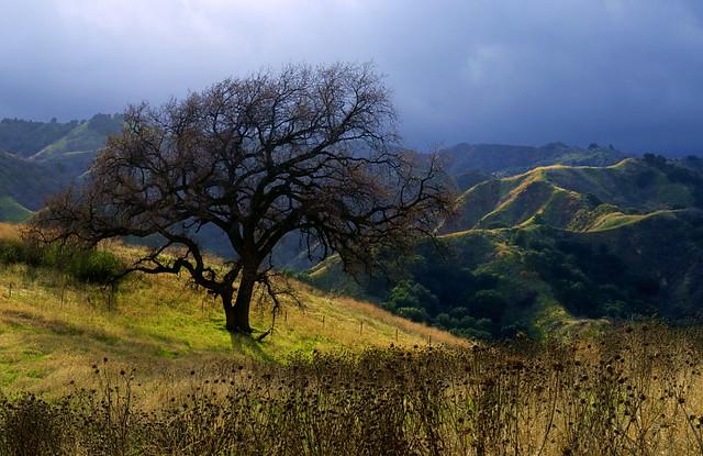 Santa Clarita Ca >> Lone Oak, Santa Clarita | This dormant oak tree stands alone… | Flickr