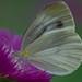 スジグロシロチョウ/cabbage butterfly
