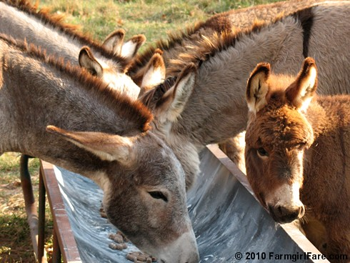 Donkey Ears 1 | by Farmgirl Susan