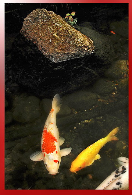 Koi fish with a huge rock my hike up the hill was for Giant coy fish