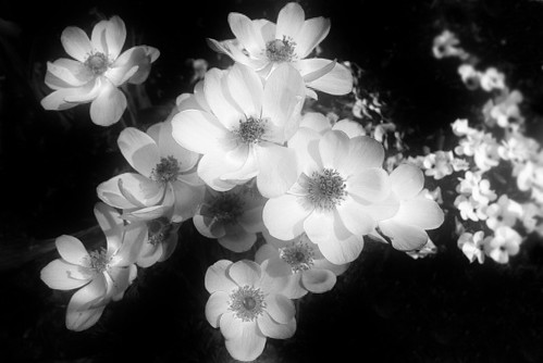 Black and white flowers | Flickr - Photo Sharing!