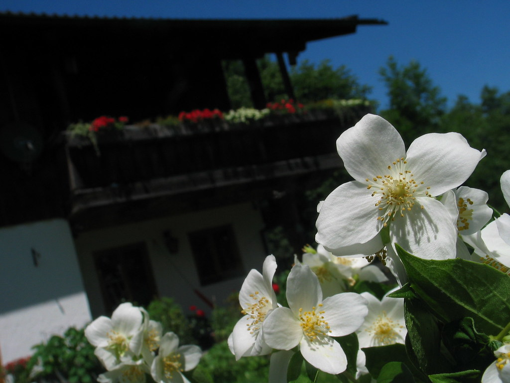 jasmine flower garden summer sommer blume jasmin ba. Black Bedroom Furniture Sets. Home Design Ideas