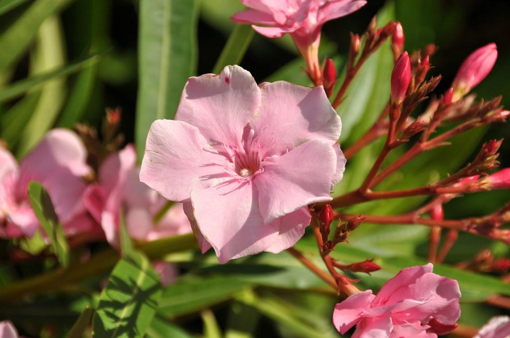 Fleur de laurier rose le laurier rose est une des plantes flickr - Laurier rose feuilles seches ...