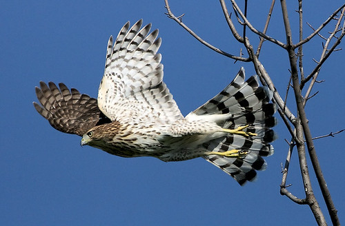 Cooper's Hawk Leaping | by William Jobes