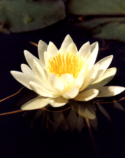 6th LAKE WATER LILY | by William Charles Cross