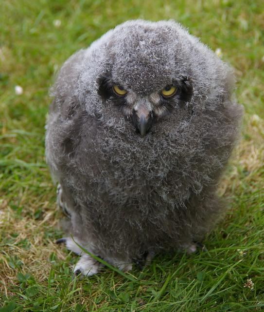 Baby Snowy Owl | Explore A.J.S Photography's photos on ...
