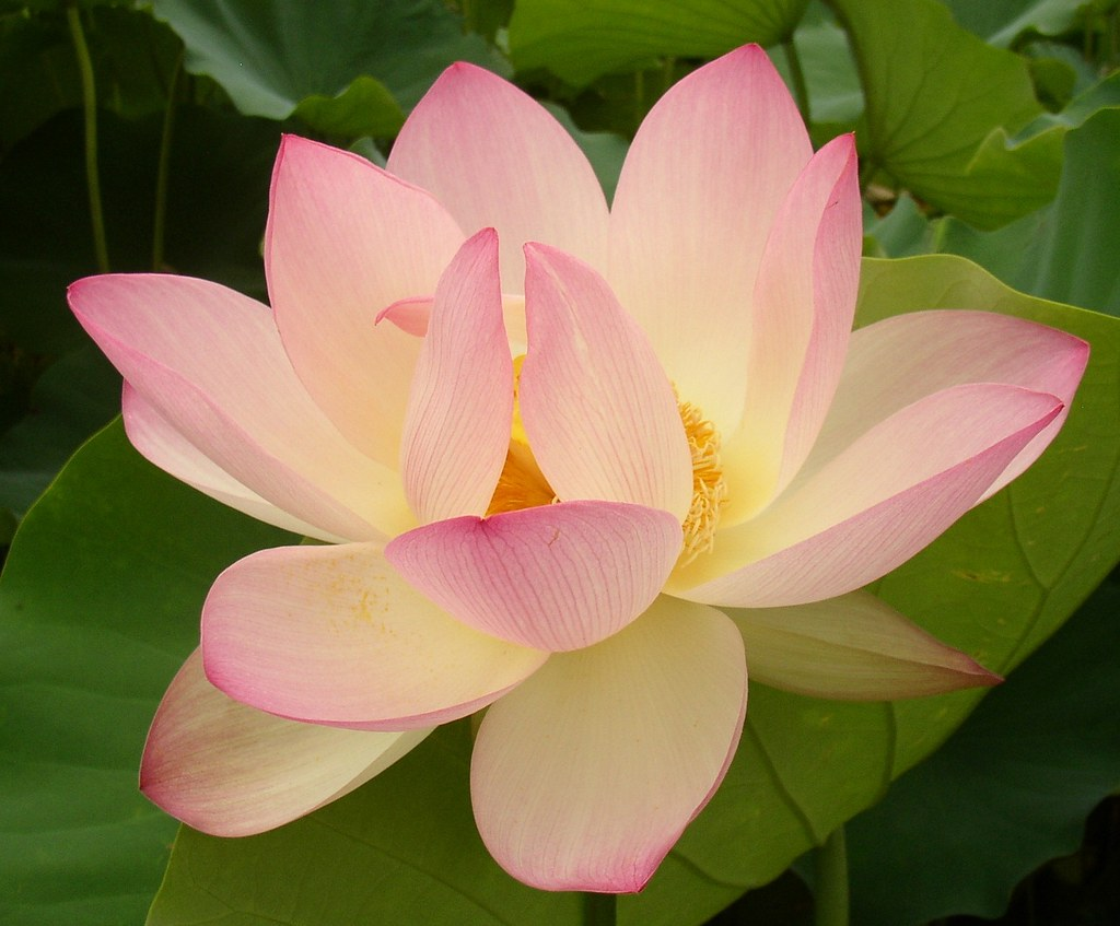 asian lotus flower images  reverse search, Beautiful flower