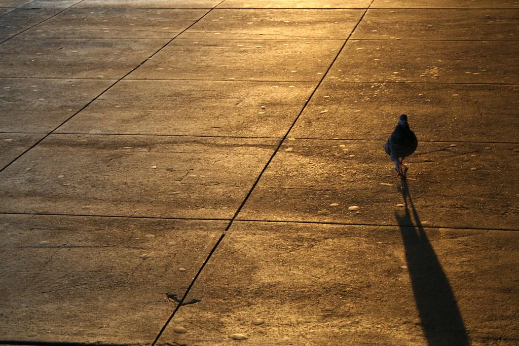 pigeon shadow