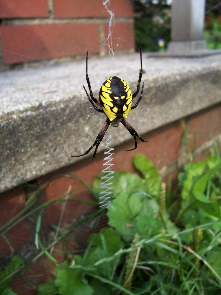 Black and yellow garden spider argiope she 39 s sitting bet flickr for What does a garden spider look like