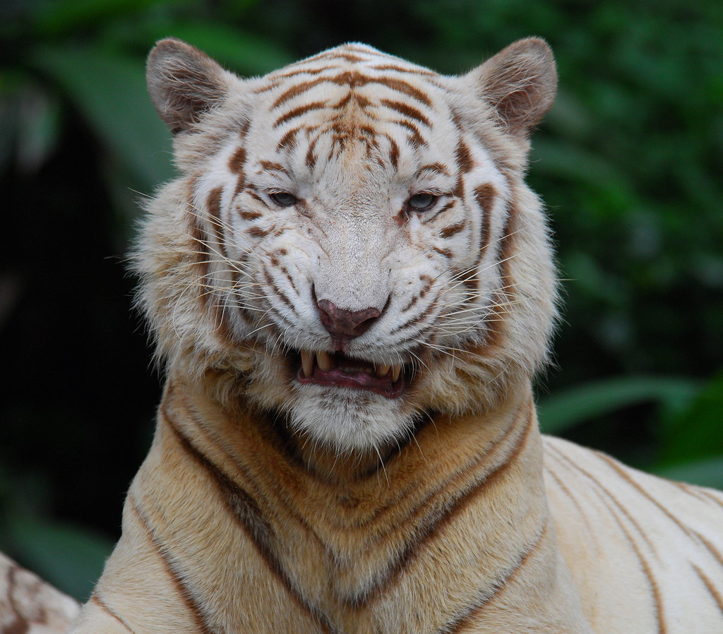 Nice SMILE | You can do better than that... WHITE TIGER ...