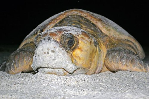 Loggerhead Sea Turtle | by USFWS/Southeast