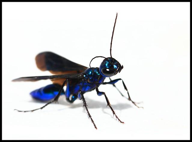 Blue Jacket Bug 6EculU