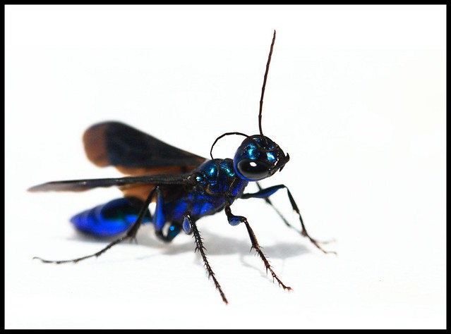 Blue Mud Wasp   This was a backyard find the other day. Neve…   Flickr