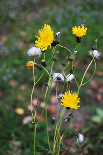 What To Be When I Grow Up >> Tall Dandelions | I'm pretty sure that these are dandelions.… | Flickr