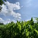 Corn field on a summer's day