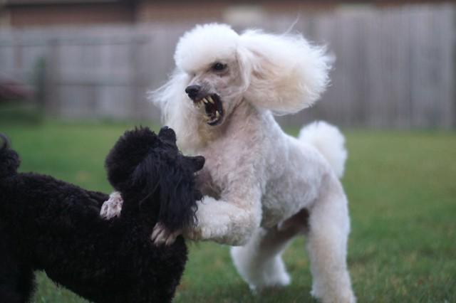 Resultado de imagen para poodle Teeth