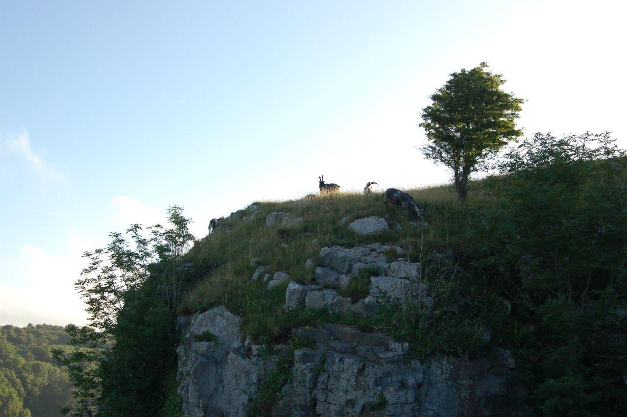 Goats @ Cheddar Gorge