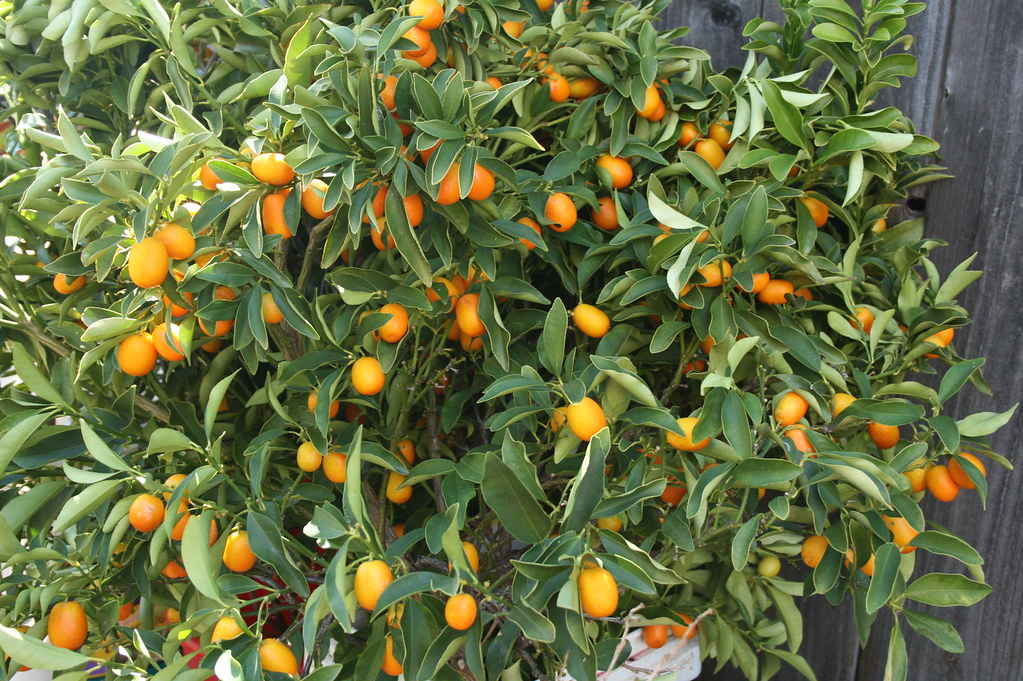 Free And For Sale >> kumquat branches | Kumquats on branches... up for sale ...