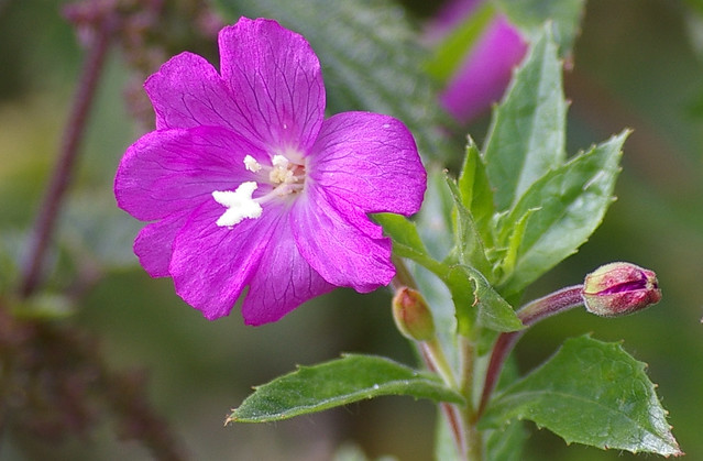 Great Willow Herb Epilobium Hirsutum Also Known As