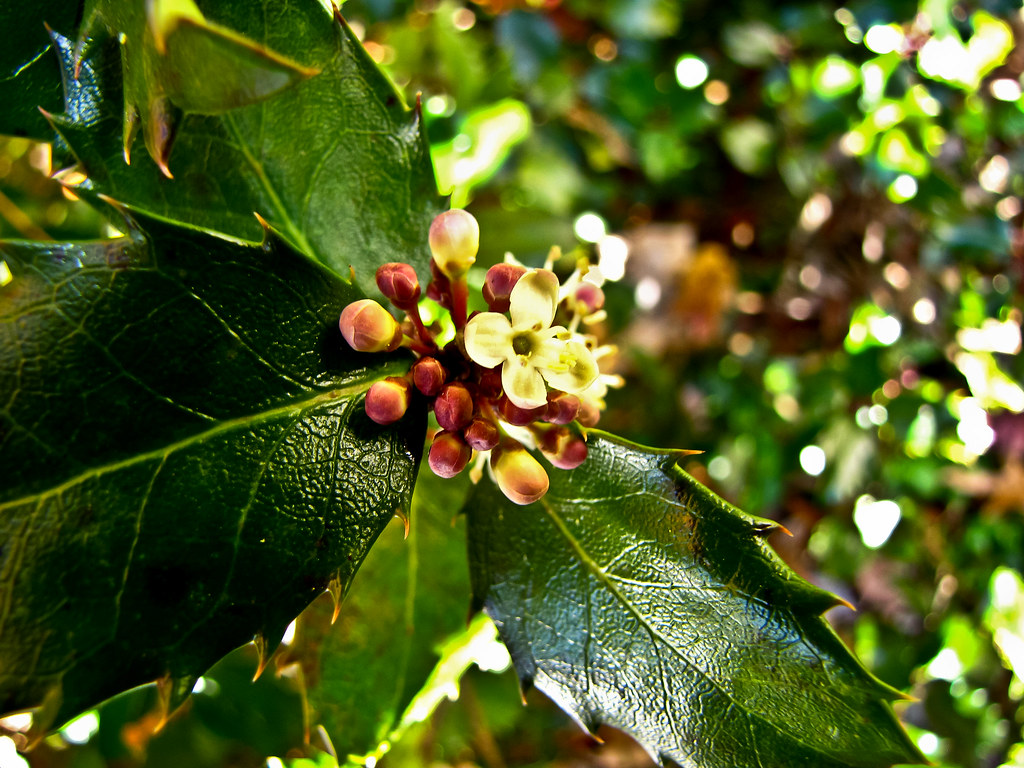 holly flowers and buds 1 of 1 Holly that flowers in the …