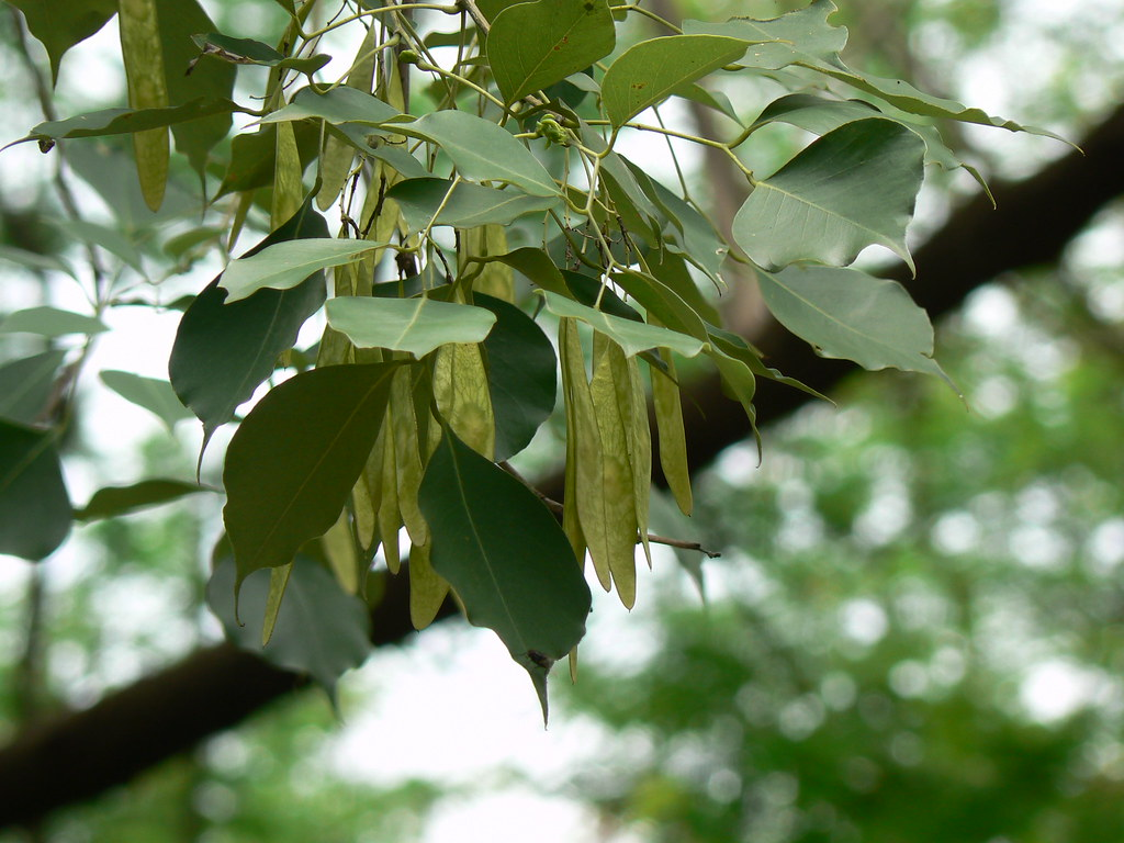East Indian Rosewood Fabaceae Pea Or Legume Family