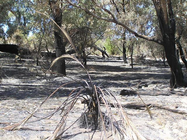 zamia one week after bushfire