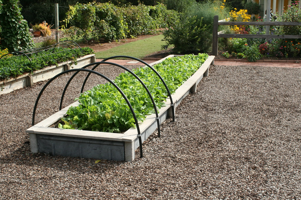 Lettuce in raised beds with hoops