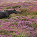 Horse in the Heather