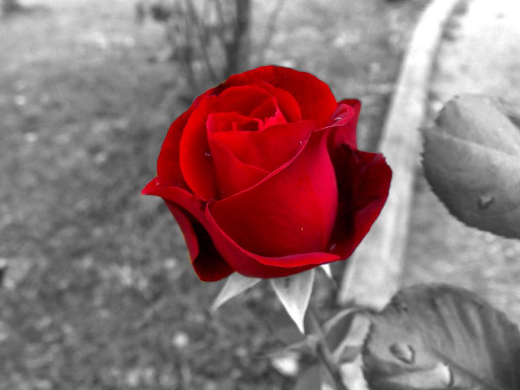 Rosa rossa rosa rossa con sfondo in bianco e nero - Pagine a colori in bianco e nero ...