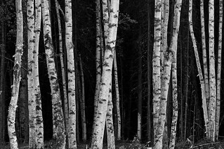 Birch | by code poet