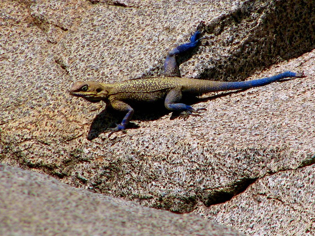 Adouri Unidentified Wallpapers Agama Lizard Unidentified